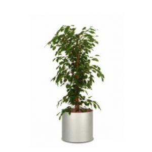 Pflanze Ficus