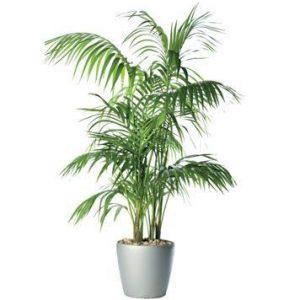 Pflanze Kentia